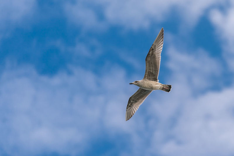 Animal Themes Animal Wildlife Animals In The Wild Beauty In Nature Bird Cloud - Sky Day Flying Low Angle View Mid-air Nature No People One Animal Outdoors Seagull Sky Spread Wings