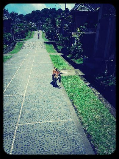 @Penglipuran village. Dog Taking Photos Taking A Walk Hanging Out