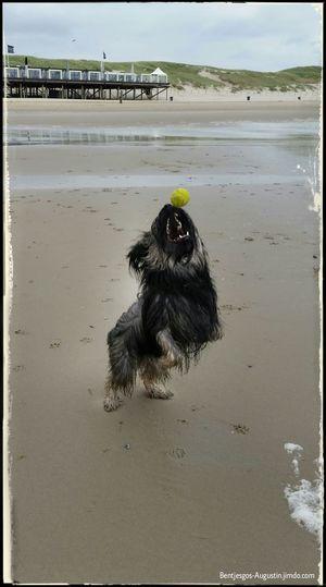 Bentjesgosaugustin Gos D'atura Dog Walking I Love My Dog playing on the beach