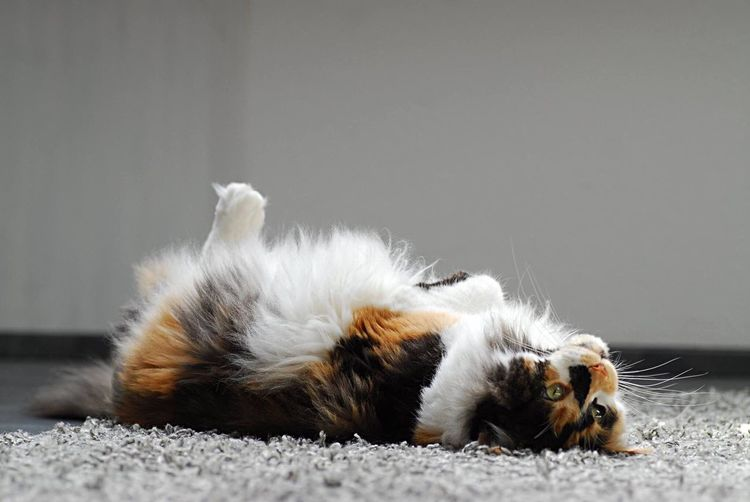 Close-Up Of A Cat Lying On Back