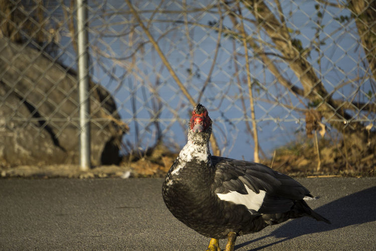 Muscovy Duck On Street Against Chainlink Fence During Sunny Day