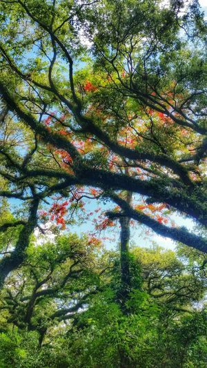 Canopy of trees, feeling like a child, beauty of summer Tree_collection  Trees And Sun Trees And Sky Trees #leaves #sunlight #warm Color