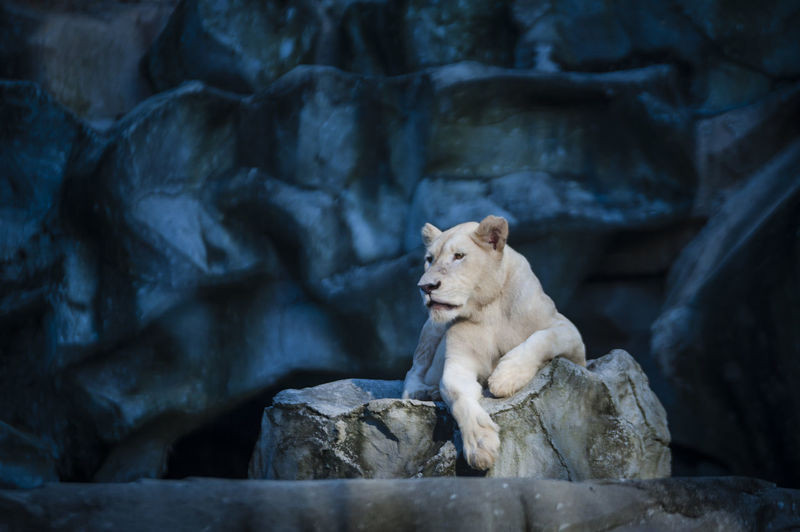 White lioness sitting on rocks at zoo