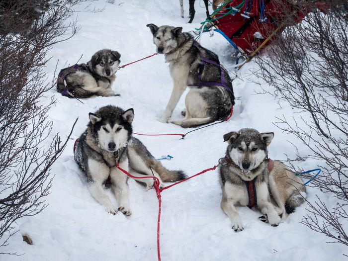 taking a break along the trail Animal Themes Canada Cold Temperature Day Dog Nature No People Outdoors Pack Of Dogs Resting Siberian Husky Sled Dog Snow Wilderness Wilderness Adventure Wilderness Area Wildernessculture Winter Working Animal Yukon Territory