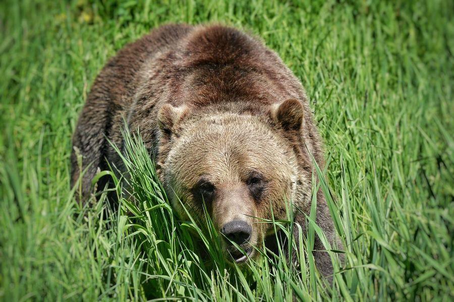 Bear Orso Nature Canada Winter Summer Green Grizzly Grizzlybear