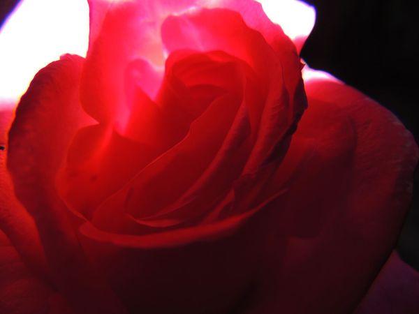 Fragility Natural Pattern Petal Red Red Rose Rose🌹 Taking Photos Trasparence Trasparenza