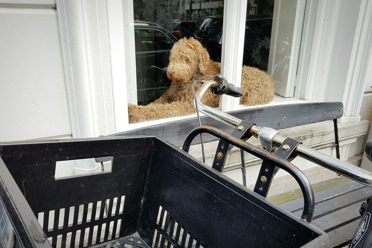 Bicycle parked by goldendoodle resting on window sill