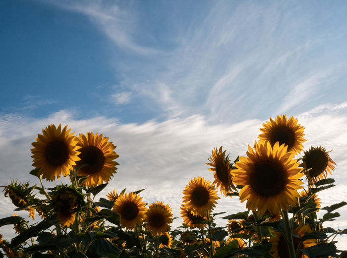 Close-up of sunflower field against sky