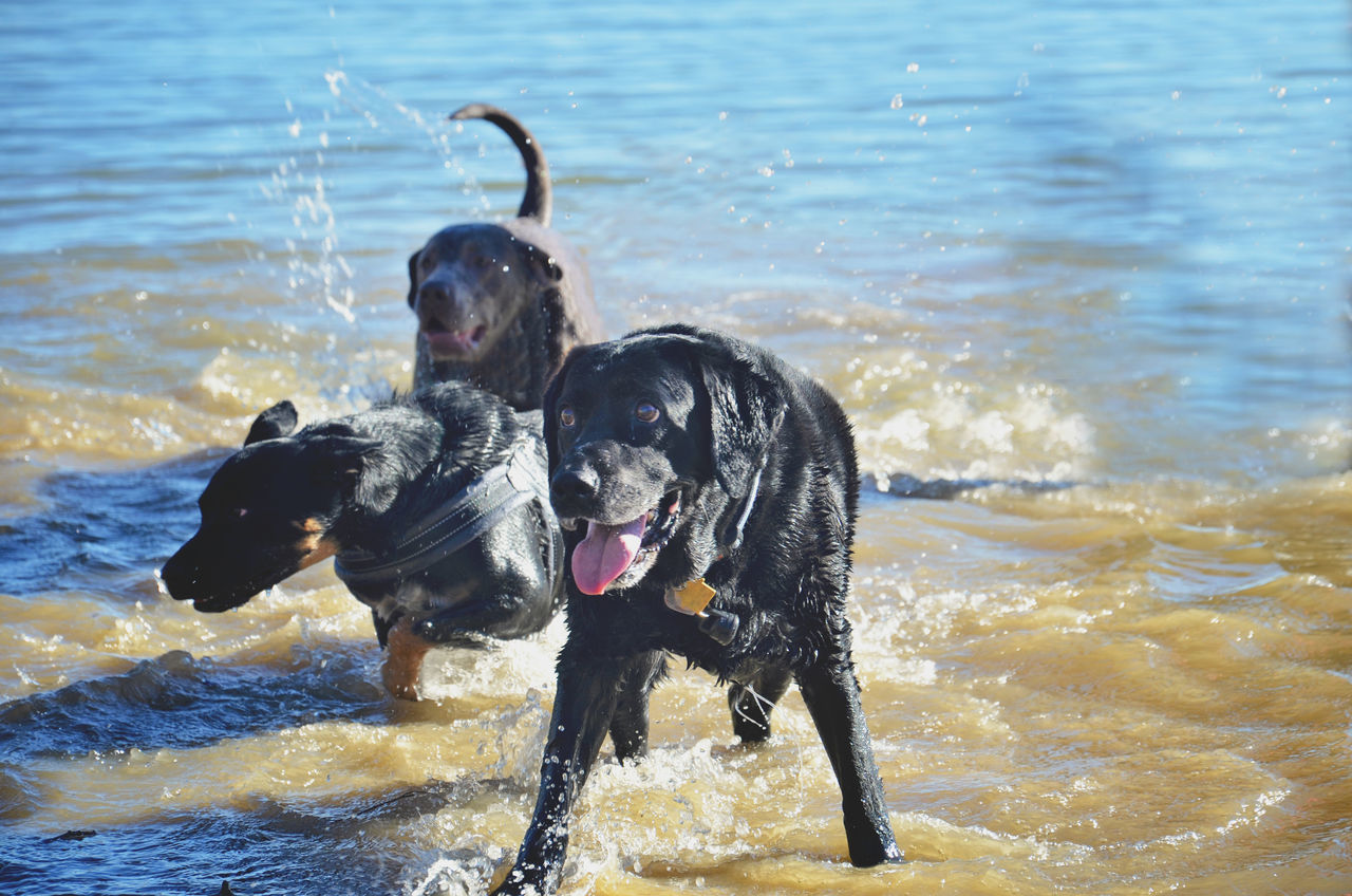 dog, pets, animal themes, domestic animals, water, mammal, sea, day, nature, no people, outdoors, beach