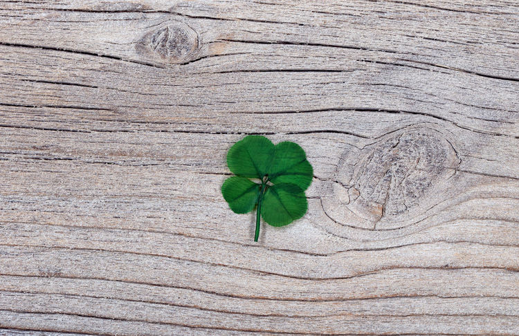 Real four leaf clover on rustic wood Clover Four Leaf Clovers 🍀 Good Luck Green Color Holiday Luck Plant St Patrick's Day Wood Charm Irish Lucky Charm St Patrick