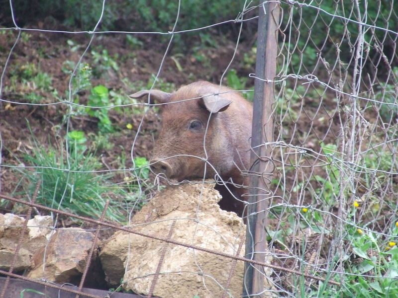 Animal Head  Animal Themes Fence Fence Post Fence Post With Barbed Wire Iberic Pig Iberic Pork Mammal Omnivore One Animal Pork Pork Behind A Fenc Portrait Wildlife Zoology
