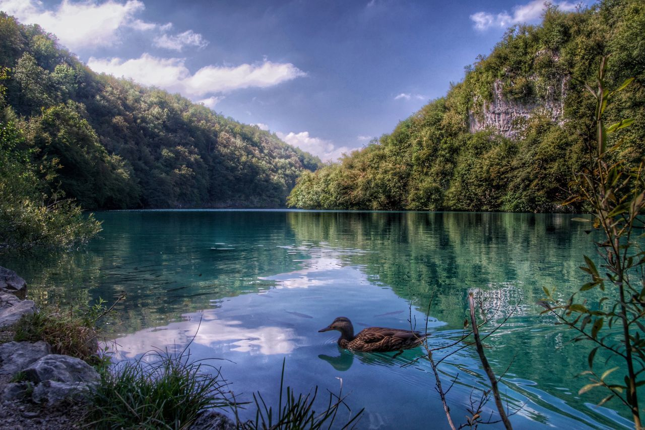 lake, water, animal themes, tree, nature, one animal, animals in the wild, day, reflection, beauty in nature, tranquility, scenics, tranquil scene, bird, no people, sky, duck, outdoors, cloud - sky, swan, animal wildlife, swimming, mammal, black swan