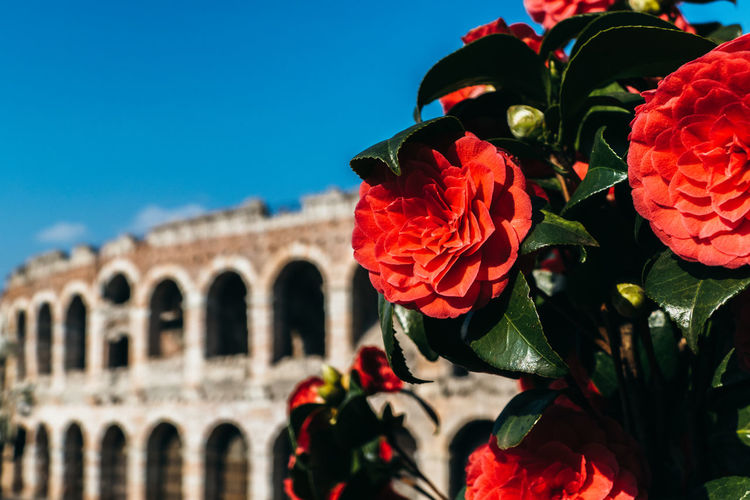 Close-up of red flowering plants against coliseum against blue sky