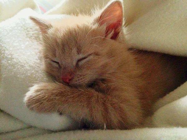 Kitten Macy Sleepy Adorable Cat Michigan Peaceful