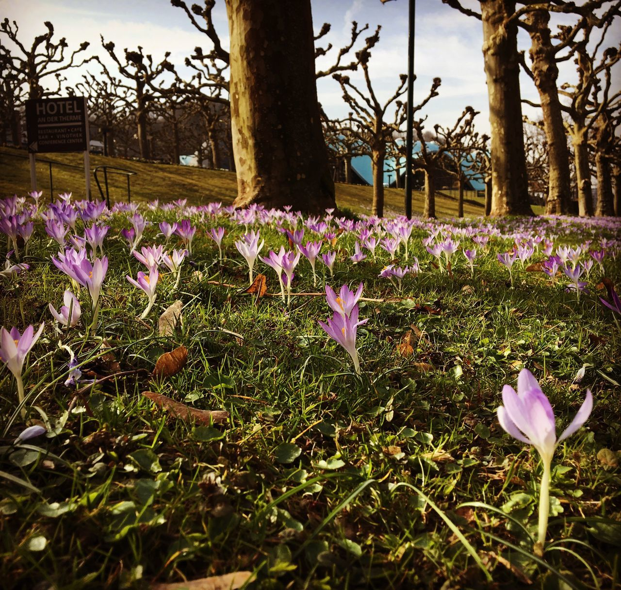 flower, growth, nature, beauty in nature, purple, fragility, field, tree, no people, outdoors, day, blooming, freshness, plant, petal, grass, park - man made space, crocus, flower head, close-up, sky, petunia