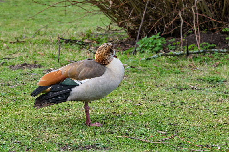 Egyptian goose standing by the little ouse, river thetford, uk