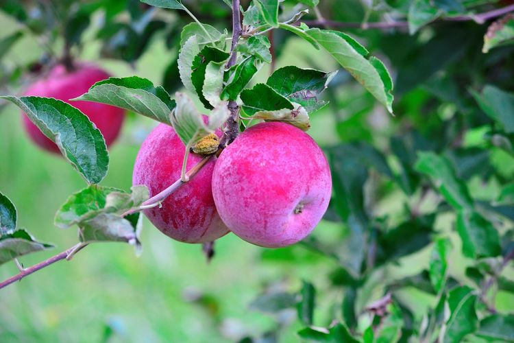 apple orchard ready for harvesting Agriculture Apple Apple Orchard Autumn Dew Morning October Apple Tree Day Freshness Fruit Growth Harvest Nature No People Outdoors Tree