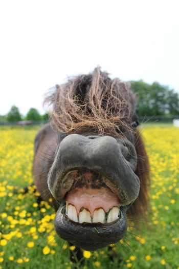 Pony Close-up Day Field Flowering Plant Focus On Foreground Front View Happiness Horse Mouth Mouth Open Nature Nose Outdoors Smiling Theeth Yellow