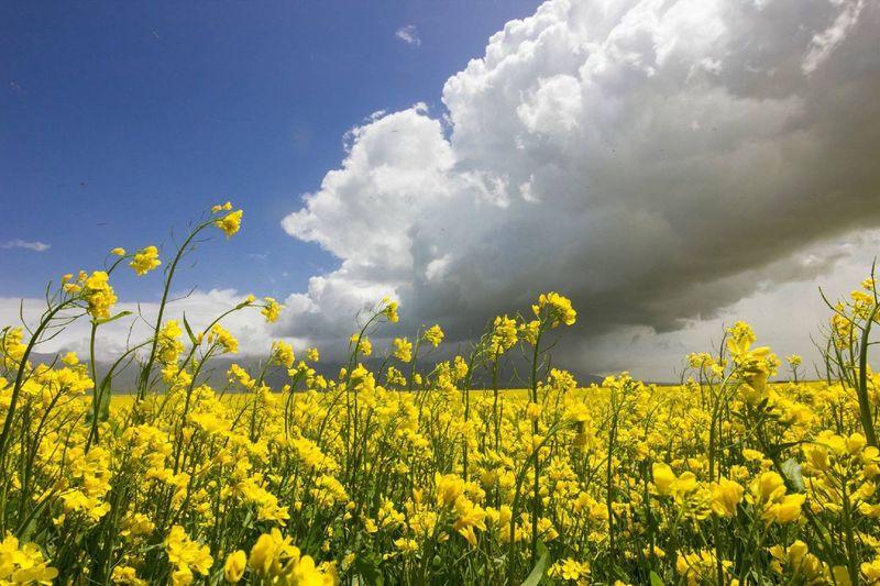 Canola field against cloudy sky on sunny day