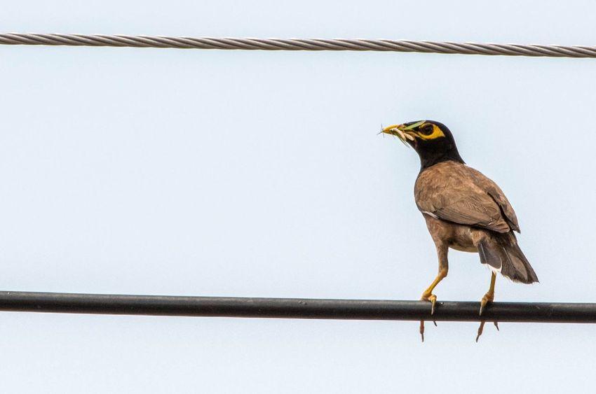 Local noise pollution Myna Wildlife & Nature Bird Photography Thailand