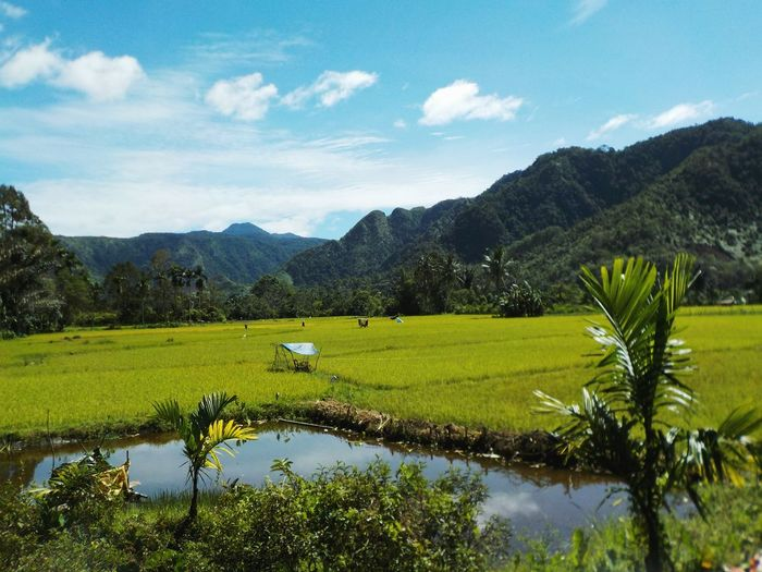 Rice Paddy Sumatra  Sumatera Field Open Landscape Valley View Valley Wetland Mountain Range