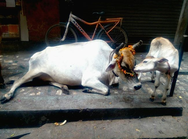 A lovely moment of child's love captured... Cow India Govinda Varanasi Mother And Child Holy Cow Marygold Child Love Small Cow Indian Cow Cow Love First Eyeem Photo Fatherhood Moments