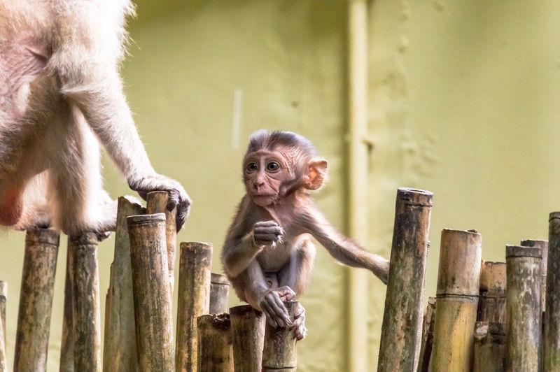 Baboon with infant sitting on bamboos against wall