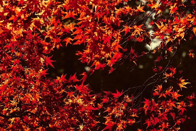 Jupiter9 Beauty In Nature Leaves Maple Leaf Nature Change Leaf Autumn Japan Red Leaves 紅葉 EyeEm Best Shots EyeEm Best Shots - Nature