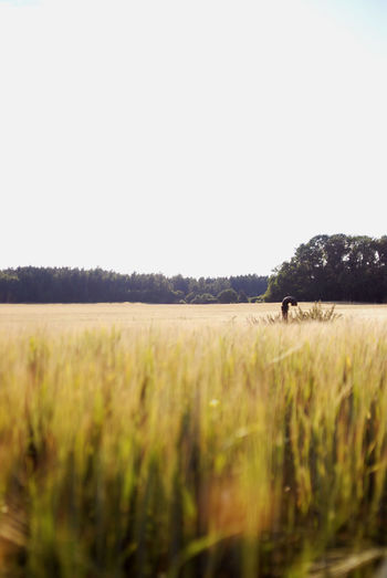 A field of wheat. Agriculture Day Field Land Landscape Nature No People Sky Tranquil Scene Tranquility