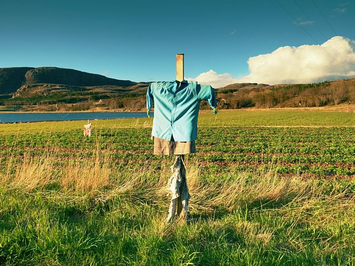 Scarecrow in paddy. head less scarecrow in rural area, small strawberry field in background