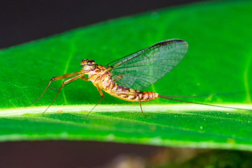 Yellow, brown adult flat-headed mayfly (Arthropoda: Ephemeroptera: Schistonota: Heptagenoidea: Heptageniidae: Heptagenia or Thalerosphyrus or Electrogena lateralis) clear wings descend on a green leaf Adult Arthropod HEAD Species Tiny Wing Animal Brown Clear Descend Electrogena Entomology Flat Heptagenia Insect Invertebrate Lateralis Leaf Macro Mayfly Outdoors Small Thalerosphyrus Yellow Zoology