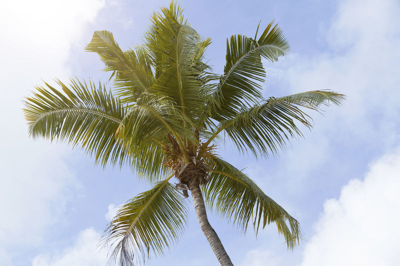 Palm Tree Tropical Climate Tree Sky Plant Low Angle View Cloud - Sky Growth Leaf Beauty In Nature Palm Leaf No People Nature Tree Trunk Green Color Trunk Day Tranquility Outdoors Plant Part Coconut Palm Tree Tropical Tree