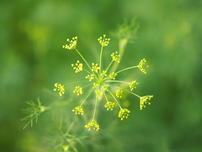 Coriander ...8.2.2019... First Eyeem Photo Land Outdoors No People Plant Part Selective Focus Bright Leaves Day Freshness Leaf Close-up Green Color Flower Nature Beauty In Nature Plant Coriander Coriander Flower Coriander Plants