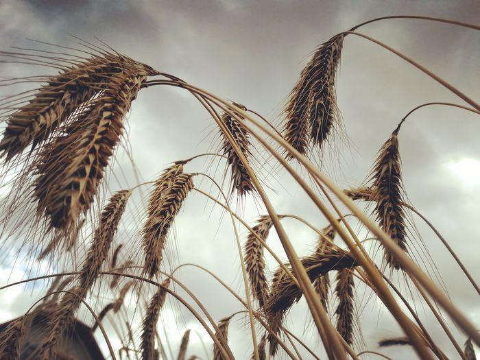Close-up of rye ears on stalks against sky