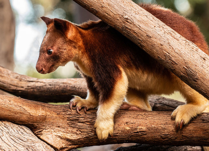Tree climbing wallaby Animal Themes Animal Mammal One Animal Vertebrate No People Animal Wildlife Wood - Material Tree Animals In The Wild Focus On Foreground Brown Wood Nature Day Branch Log Outdoors Timber Close-up Whisker Tree Wallaby Marsupial Tree Climbing Wallaby Jason Gines