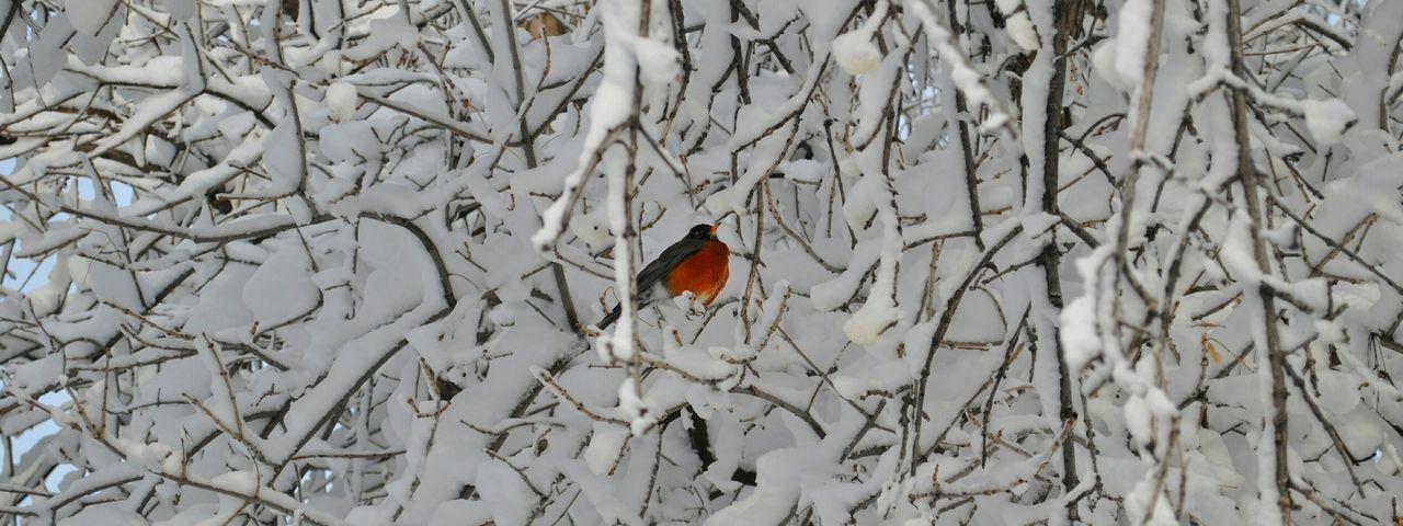 A Puffy Robin