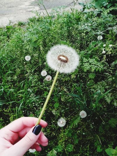 Human Hand Grass Dandelion Nature Beauty In Nature Outdoors EyeEm Gallery Nature_collection Nature Photography Tumbler Popular Photos