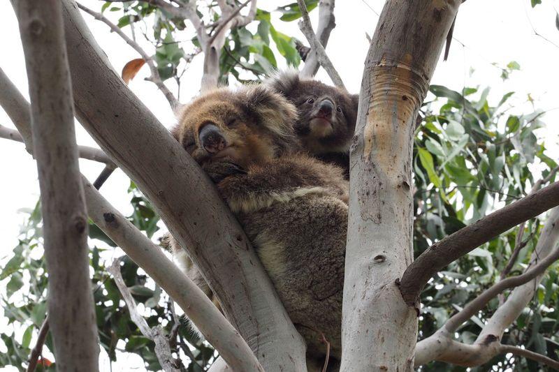 Koalas Baby Australia Mother Koala On A Tree Koala Bear Cub Tree Branch Animals In The Wild Animal Themes Animal Wildlife Day Koala Outdoors Low Angle View Nature No People