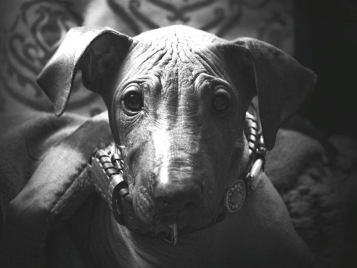 Nackthund dog puppy pup porttait black white