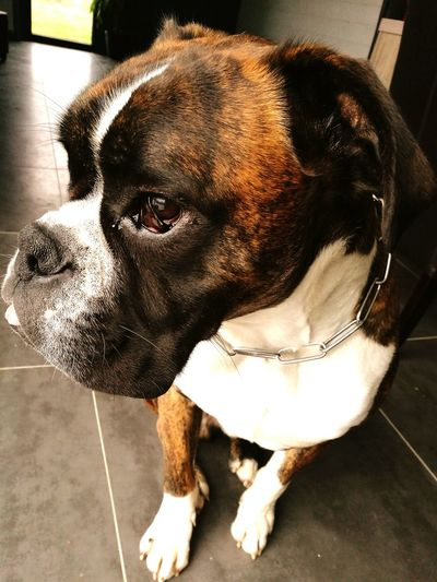 Pets Animal Themes Domestic Animals One Animal Boxer Dogs Boxerlove Boxerpuppy Boxer Dogs Rule Day First Eyeem Photo