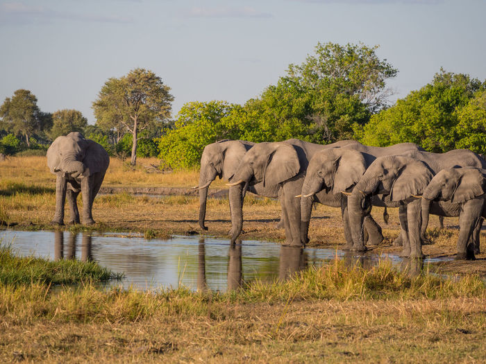 Large group of african elephant drinking from river, moremi game reserve, botswana