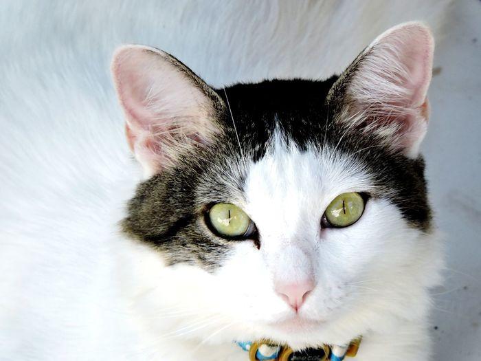 The cat Pets Portrait Feline Looking At Camera Domestic Cat Yellow Eyes Eye Close-up Cat Animal Eye Green Eyes