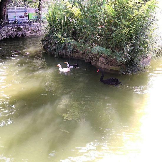 Siyah kugu, Ordek kovaliyorken... Istanbul Emirgan Koru park sariyer nature manzara color travel tour swan duck animal