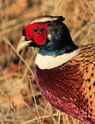 Pheasant Wildlife & Nature Wildlife Wildlife Photography Pheasant Avian Collection Nature_collection Nature Bird One Animal Red No People Multi Colored Animals In The Wild Close-up
