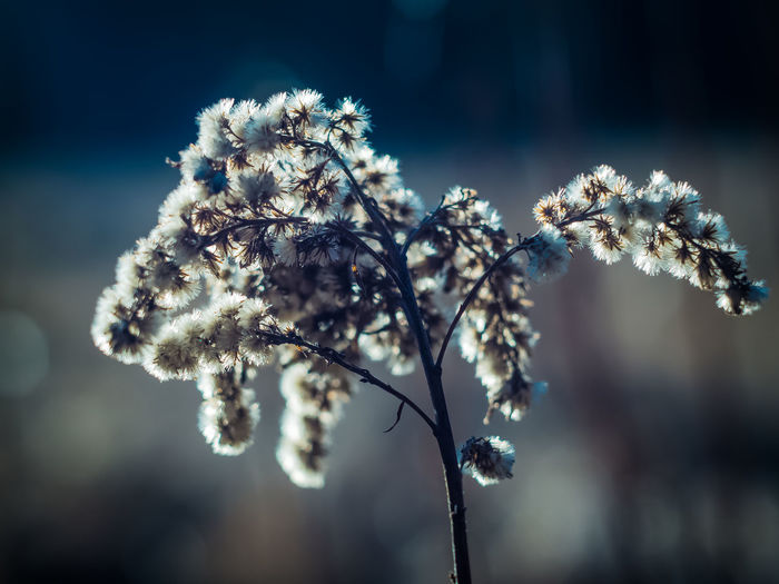 Beauty In Nature Branch Close-up Cold Temperature Day Flower Flower Head Focus On Foreground Fragility Freshness Frozen Growth Nature No People Outdoors Plant Sky Snow Springtime Tree Twig White Color Winter