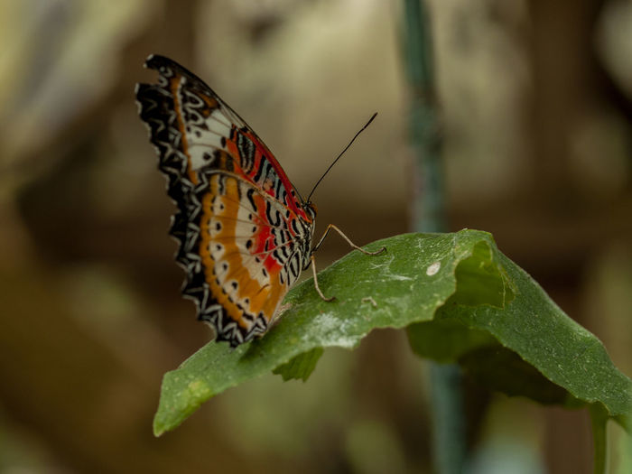Animal Animal Markings Animal Themes Animal Wildlife Animal Wing Animals In The Wild Beauty In Nature Butterfly Butterfly - Insect Close-up Day Flower Focus On Foreground Insect Invertebrate Leaf Nature No People One Animal Outdoors Plant Plant Part