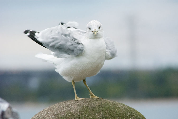 Seagull fluffing its feathers staring Feathers Animal Wildlife Animals In The Wild Bird Close-up Day Fluffing Cotton Fluffing Feat Focus On Foreground Nature No People One Animal Outdoors Perching Rock - Object Seagull Solid Stare Staring Vertebrate