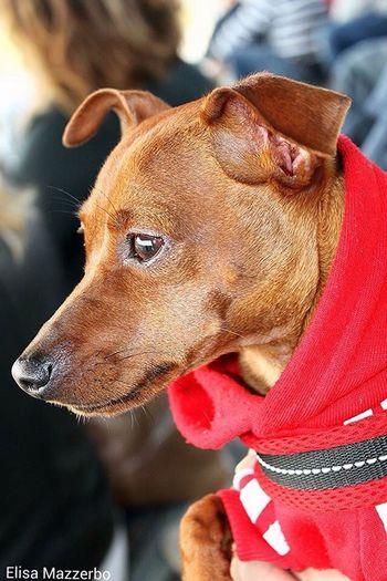 Pinscher Zwergpinscher Dogs Cani