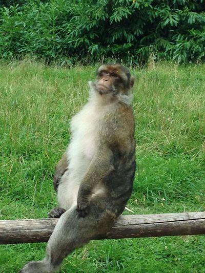 Animal Themes One Animal Mammal Monkey Nature Primate No People Animal Wildlife Outdoors Sitting Tree Trenthammonkeyforest Trentham Cheeky Monkey Monkey On Fence Monkey Close-up EyeEmNewHere