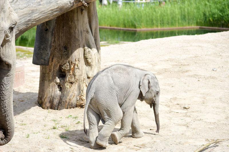 Elephant in farm